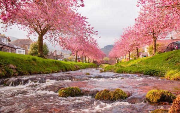 sakura-trees-beautiful-landscape-wallpaper