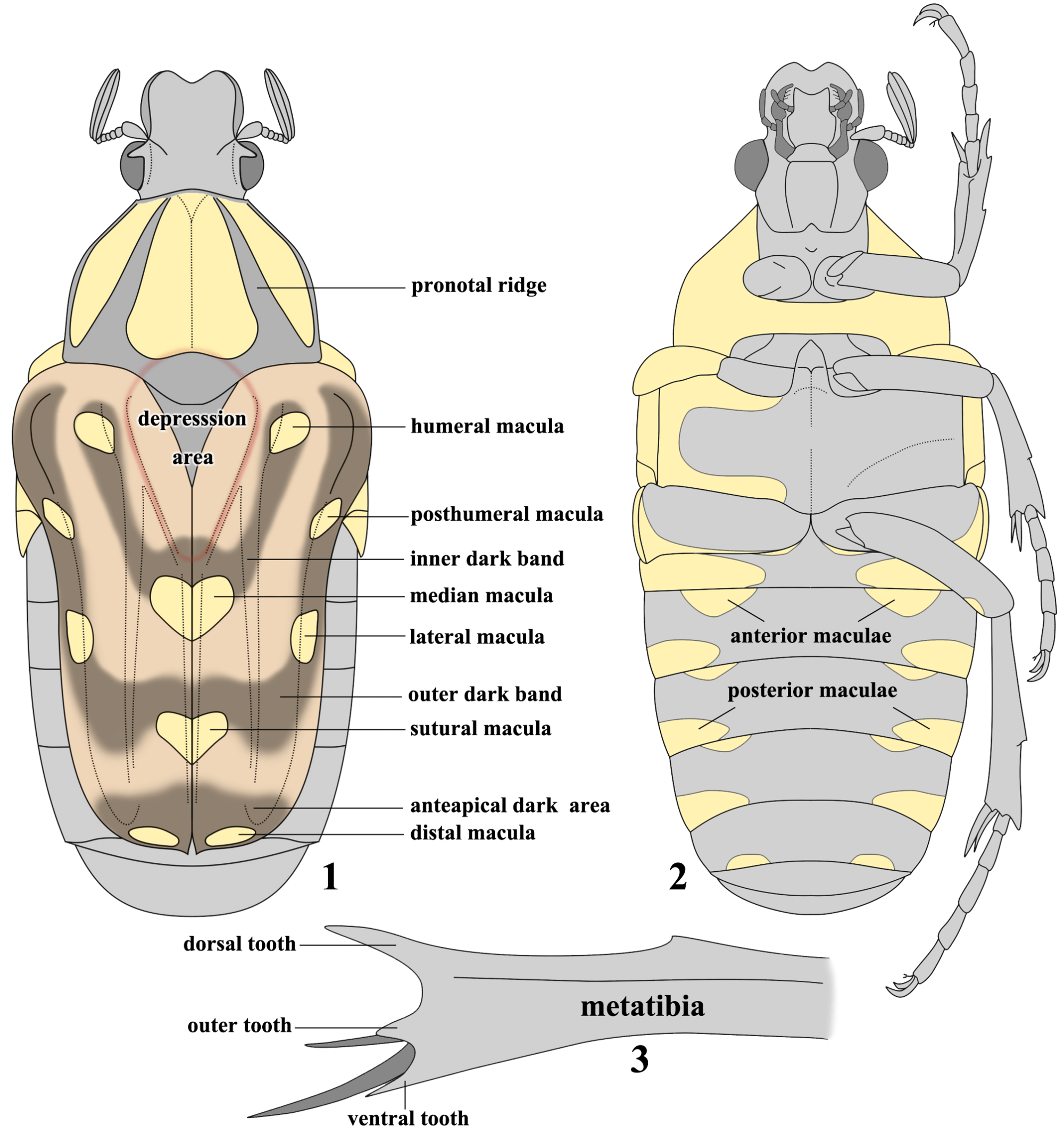 hight resolution of 1 dorsal view 2 ventral view 3 in taxonomic review of the oriental flower beetle coilodera penicillata species complex coleoptera scarabaeidae