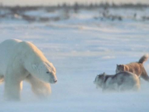 ijsbeer.049
