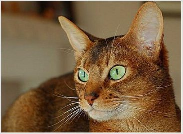 abyssinianx