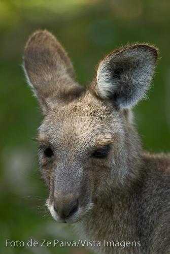 Canguru filhote em Diamond Head, Crowdy Bay National Park, New South Wales NSW, Australia. Foto de Ze Paiva, Vista Imagens