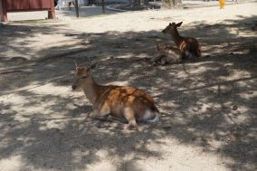 Deers resting under a tree in Nara Park