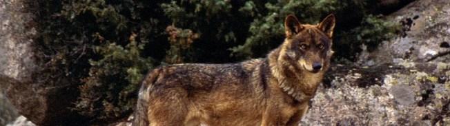 Posição ZERO e FAPAs sobre a revisão do regime jurídico da conservação do Lobo-ibérico publicada a 25 de agosto