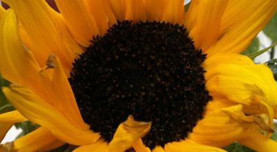 Close up of sunflower in the front garden of zero carbon house, Birmingham