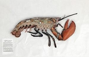 Le homard - Campagne contre les mégots de No butts
