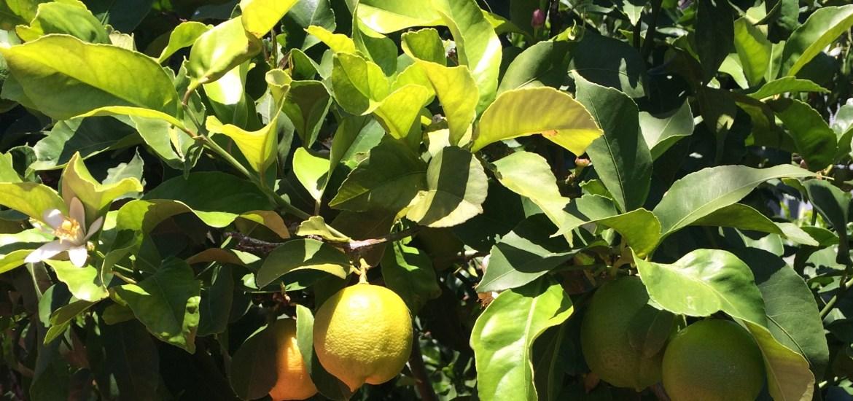 lemons in yard