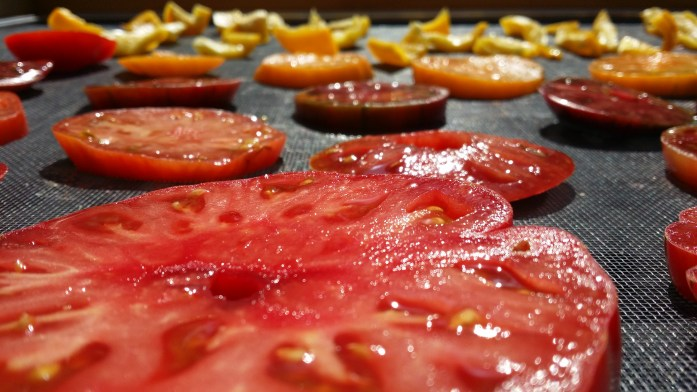 Tomatoes drying in the solar food dryer