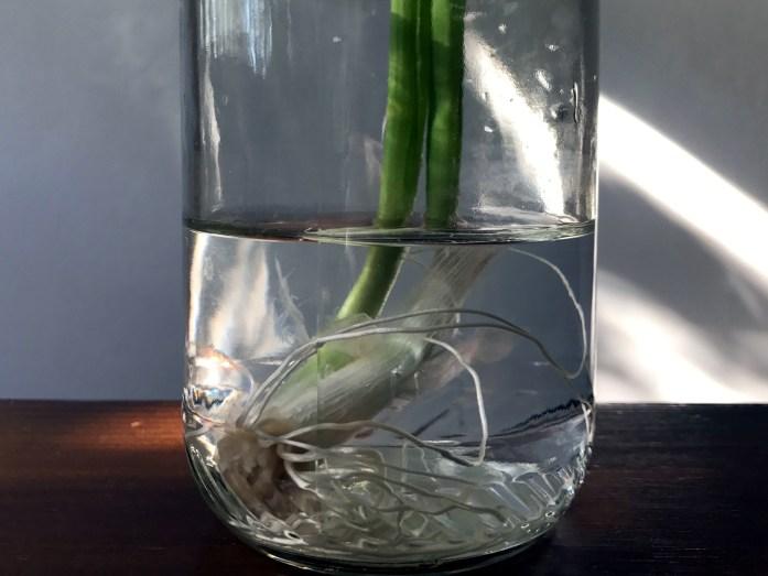 green onion regrown in water