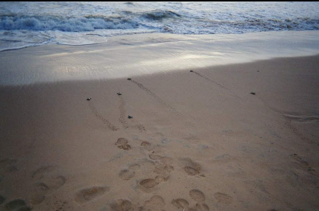 Baby turtles going to sea