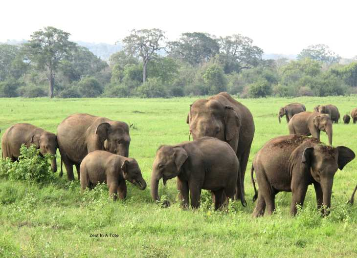 Kaudulla National Park - one of the best parks in Sri Lanka to see wild elephants