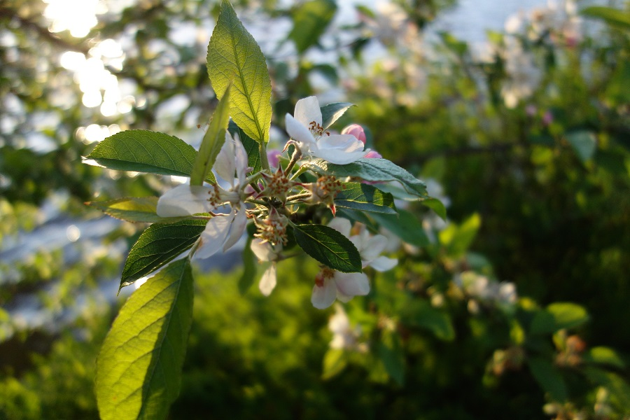 apple-blossom-tree