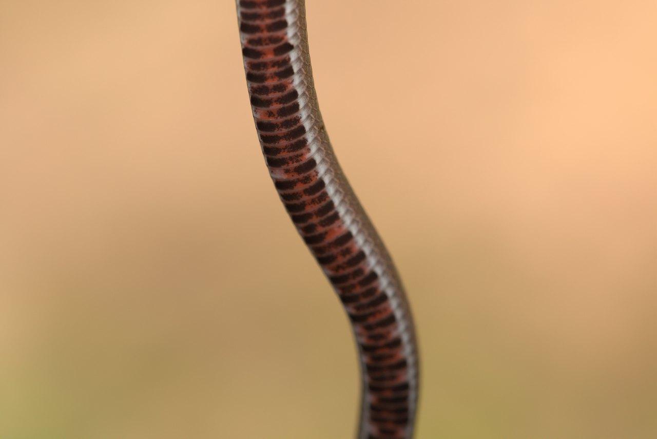 中國小頭蛇