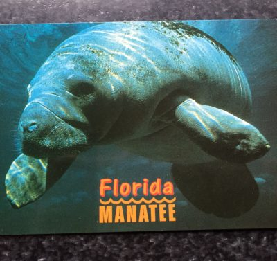 Vintage Postcard Uncirculated Unposted Florida Manatee Large Plant Eating Mammal