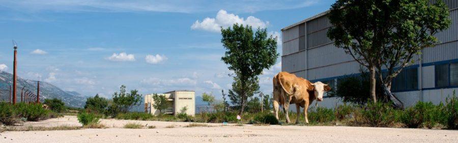 Cows in Obovac
