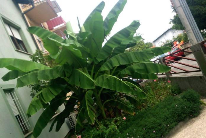 BANANA USRED ZAGREBA: Vlasnik kaže da je sadnica stigla čak iz Afrike