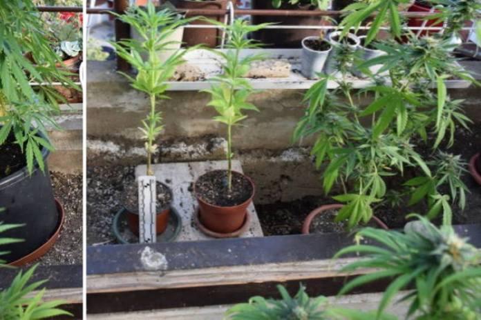 U STANU NA JARUNU policija je osim pitona dugačkog 5,5 metara pronašla i farmu marihuane!