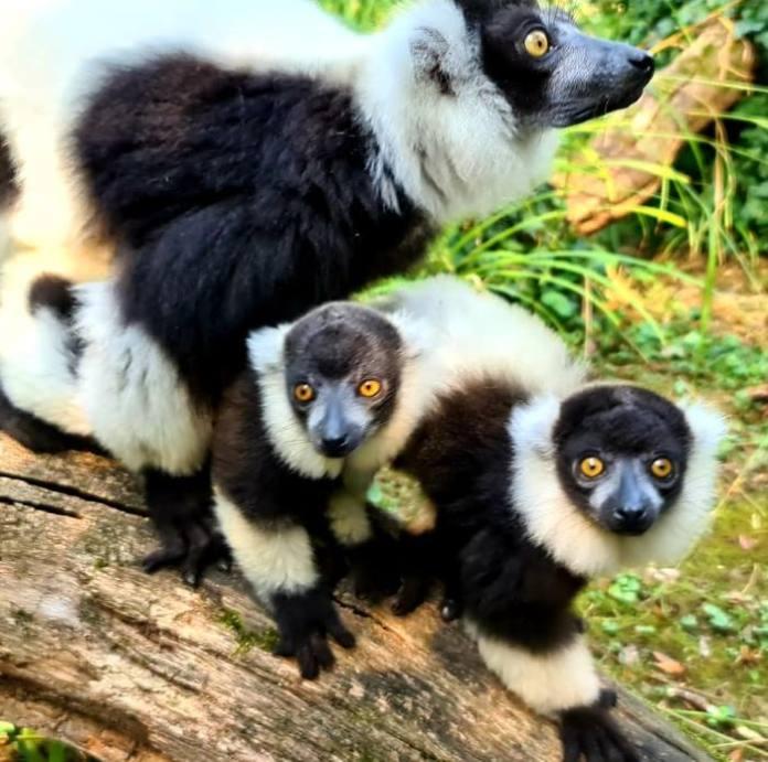 Mladunci čupavouhih lemura iz zagrebačkog Zoološkog vrta oduševili Europu