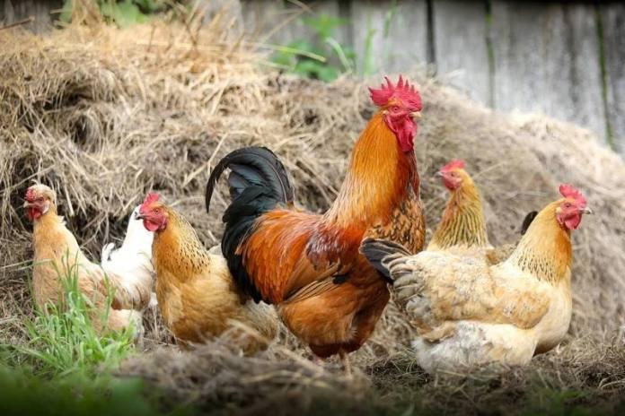 Nakon korone stiže i ptičja gripa! Ministarstvo poljoprivrede objavilo preporuke