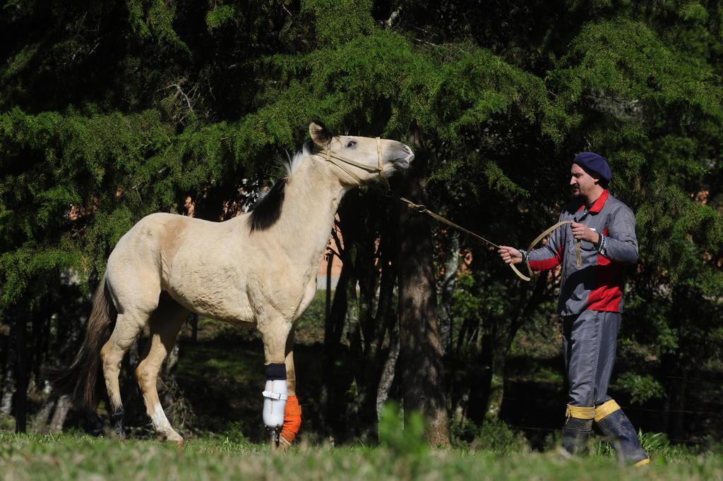Vítima de maus-tratos, cavalo recebe prótese em pata amputada para voltar a andar Roni Rigon/Agencia RBS