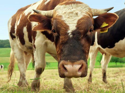 beef, animal, bull