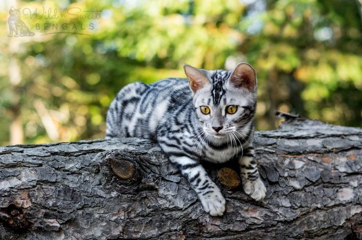 Silver Bengal Cats & Kittens for Sale | Wild & Sweet Bengals