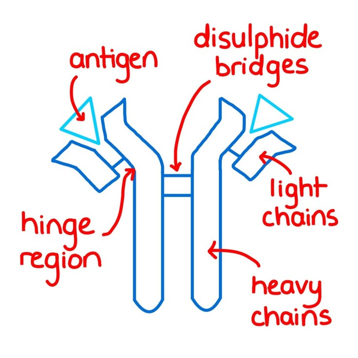 Diagram showing the structure of an antibody.