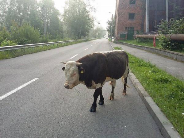 vaca lupeni