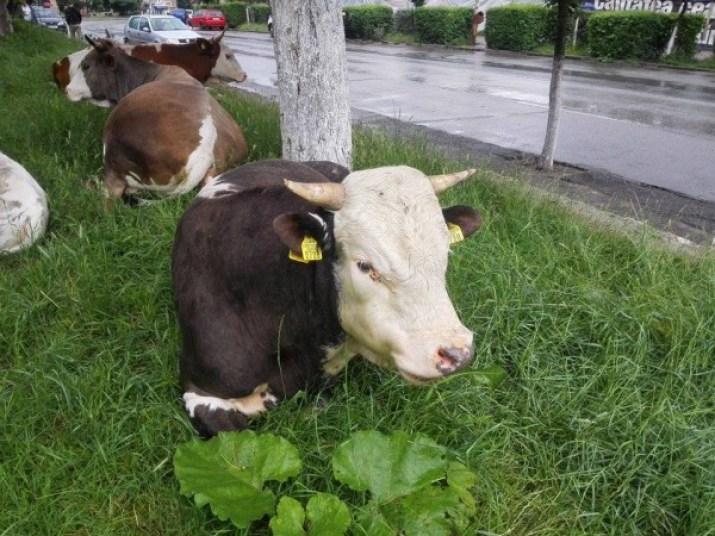 vaca-la-oras