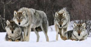 Haita lupi