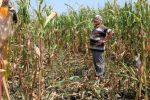 """Cum au distrus vânătorii sute de hectare de culturi agricole, """"stârpind"""" pesta africană"""
