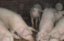 ANSVSA: Cele mai multe focare active de pestă porcină africană sunt în Teleorman – 196 în gospodăriile oamenilor și 539 de cazuri la mistreți