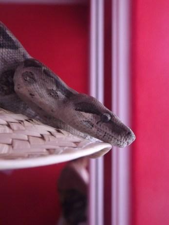 snake from the mangroves
