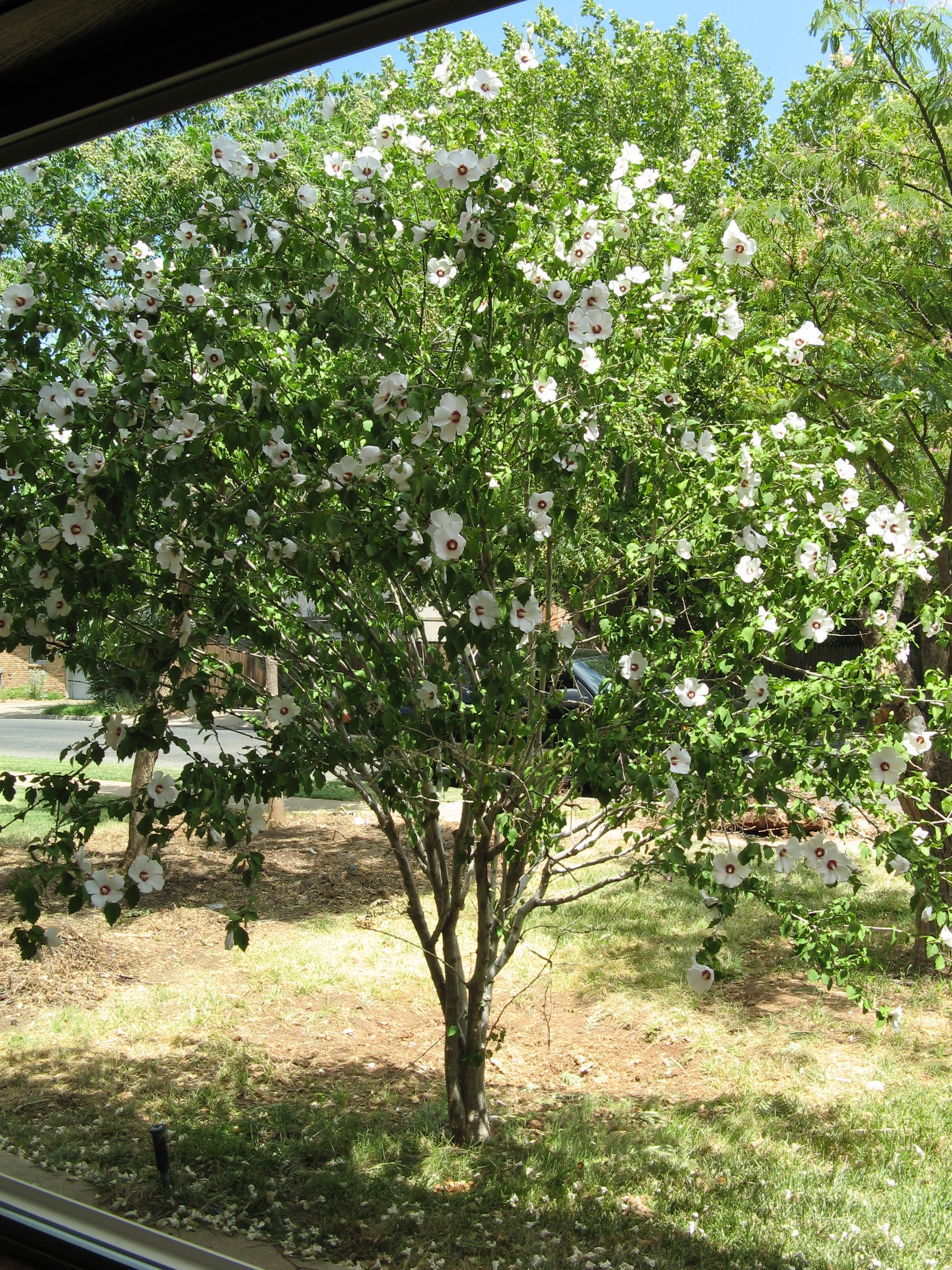 Rose Of Sharon Bush In Front Yard