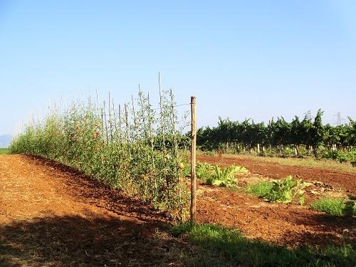 Gemüse frisch vom Garten