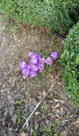 12939434_1031976736871189_1137763450_n Jakie rośliny jako pierwsze budzą się nawiosnę?