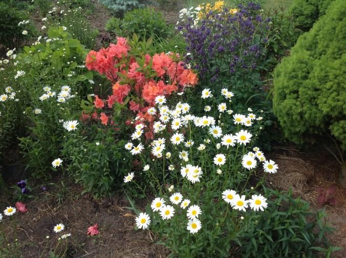 img_2136 Rhododenrony i Azalie - co robić by pięknie kwitły.