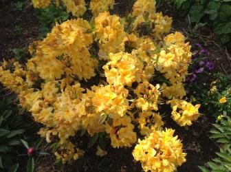img_2138 Rhododenrony i Azalie - co robić by pięknie kwitły.