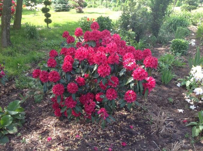 img_2141 Rhododenrony i Azalie - co robić by pięknie kwitły.