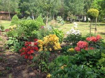 img_2142 Rhododenrony i Azalie - co robić by pięknie kwitły.