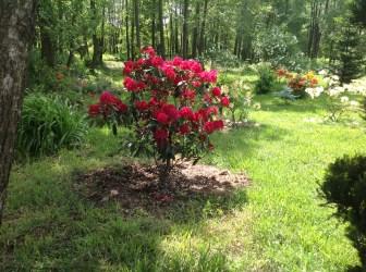 img_2149 Rhododenrony i Azalie - co robić by pięknie kwitły.