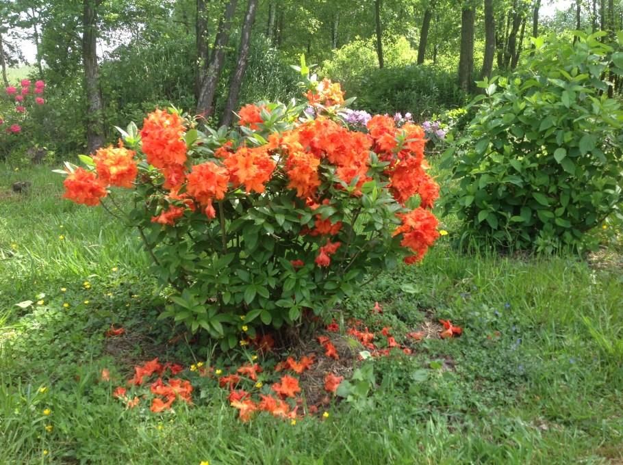 img_2153 Rododenrony i azalie - co robić, aby pięknie kwitły