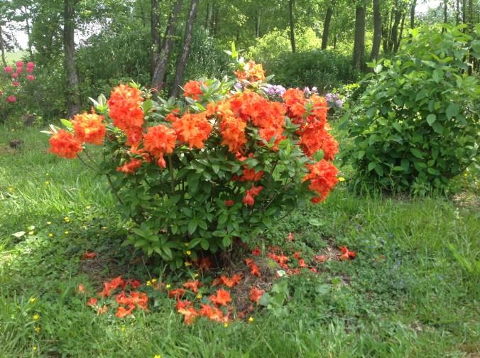 img_2153 Rhododenrony i Azalie - co robić by pięknie kwitły.