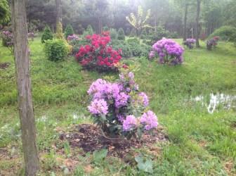 img_2202 Rhododenrony i Azalie - co robić by pięknie kwitły.