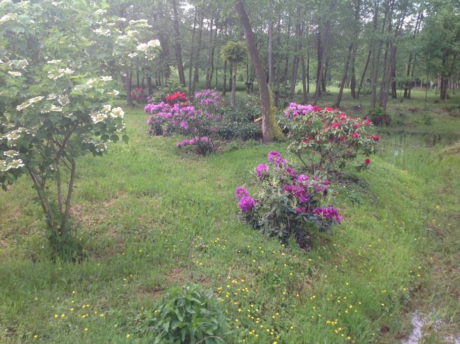 img_2206 Rododenrony i azalie - co robić, aby pięknie kwitły