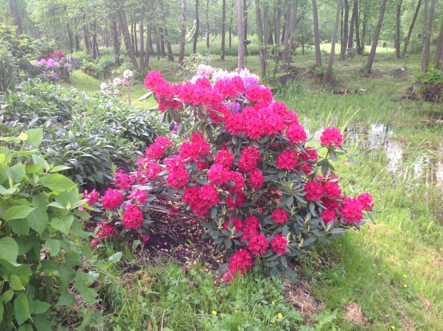 img_2210 Rododenrony i azalie - co robić, aby pięknie kwitły