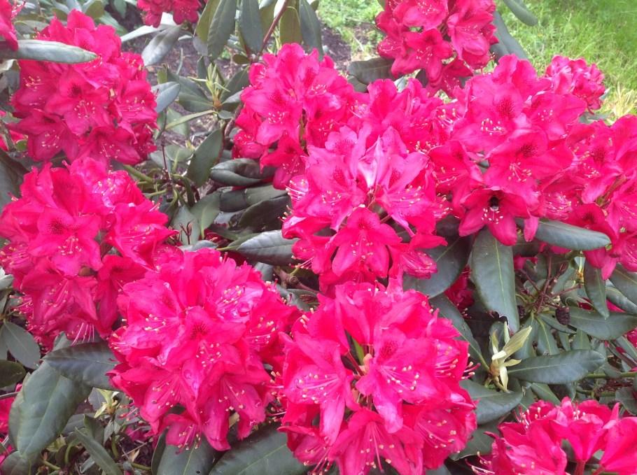 img_22121 Rododenrony iazalie - co robić, aby pięknie kwitły