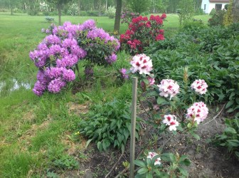 img_2216 Rhododenrony i Azalie - co robić by pięknie kwitły.