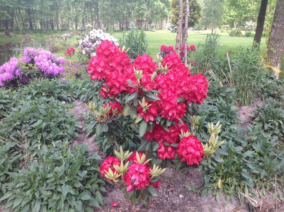 img_2217 Rododenrony iazalie - co robić, aby pięknie kwitły