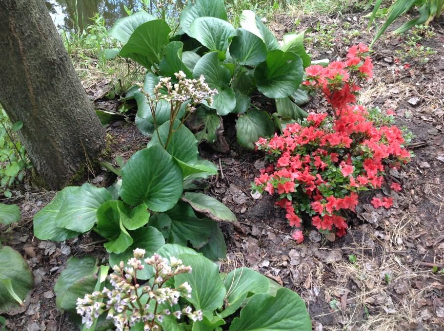 img_2261 Rododenrony i azalie - co robić, aby pięknie kwitły