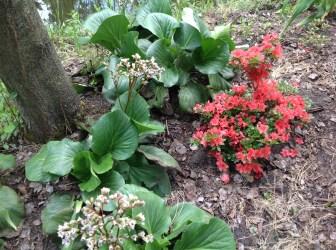 img_2261 Rhododenrony i Azalie - co robić by pięknie kwitły.